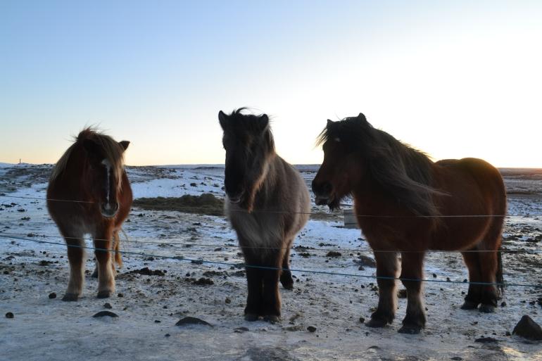 Judeebee Icelandic Horse